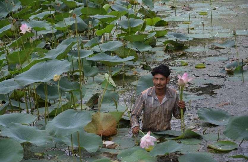 अलवर सिलीसेढ़ झील के पास खिल रहे कमल के फूल जो पर्यटकों को अपनी और कर रहे है आकर्षित