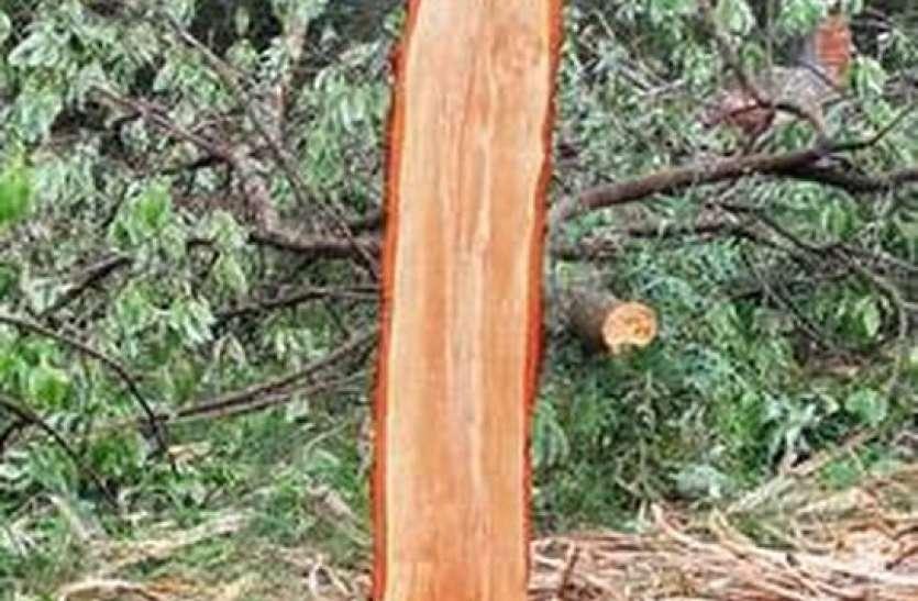 टीएफआरआइ से एक दर्जन चंदन के पेड़ काट ले गए वन माफिया