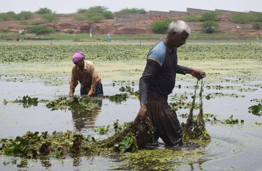 सिंघाड़े की फसल की तैयारी.... देखें तस्वीरों में