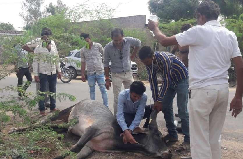 अनाज खाने से 6 नन्दी व एक गाय की मौत