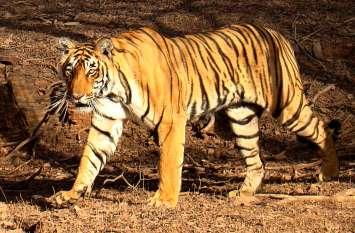 भैंस चराकर वापस आ रहे 12 साल के बच्चे पर बाघ का हमला, देखे वीडियो