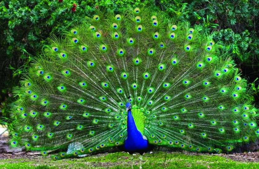 World Nature Conservation Day - शोर से परेशान मोर - कैसे बदल रहे अपनी जगह   Patrika News