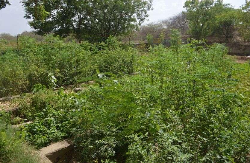 किशनगढ़ में एक जुलाई से बिक्री होंगे पौधे