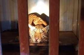 सिवनी से मुकुंदपुर लाए गए बाघ की हालत में सुधार, इसकी बीमारी भी हैरान करने वाली