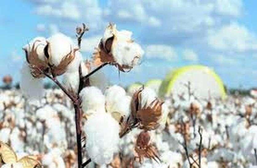 बीटी कपास को लेकर किसानों में बढ़ा रूझान