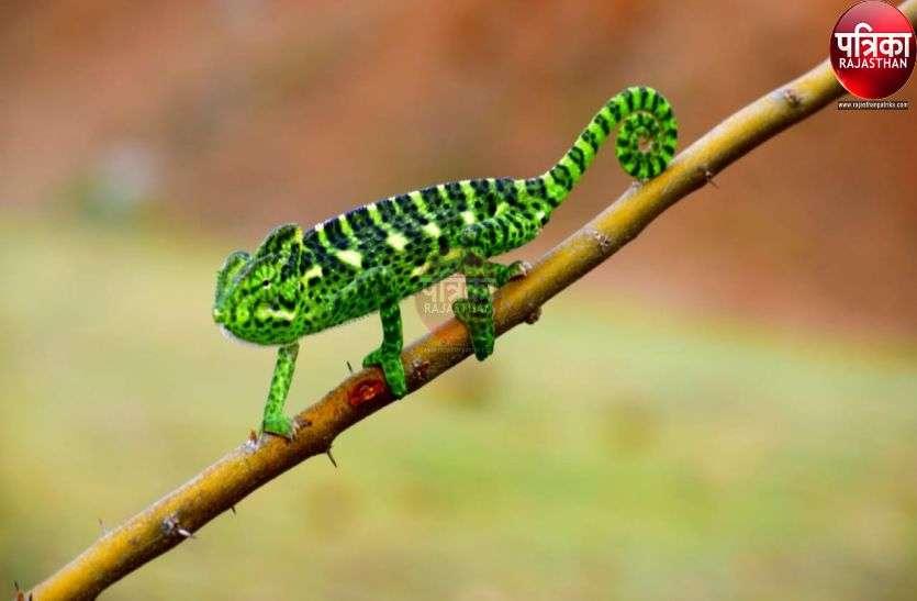 कुंभलगढ़ के वन्य जीव अभयारण्य क्षेत्र में दिखने लगे हैं 'ग्रीन कैमेलियन', क्या है ये, जानिए पूरी खबर