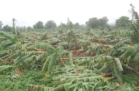 आंधी तूफान से एक करोड़ से ज्यादा की केला फसल धराशायी