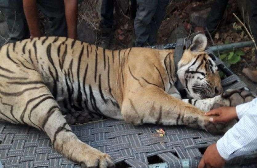 सरिस्का के बाघ एसटी-16 की मौत का कारण सामने आया, गर्मी में बेहोश करने से हुई थी बाघ की मौत