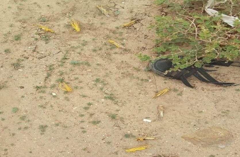 नेहड़ में लाखों की तादाद में पहुंची टिड्डी, प्रशासन रोकने में नाकाम