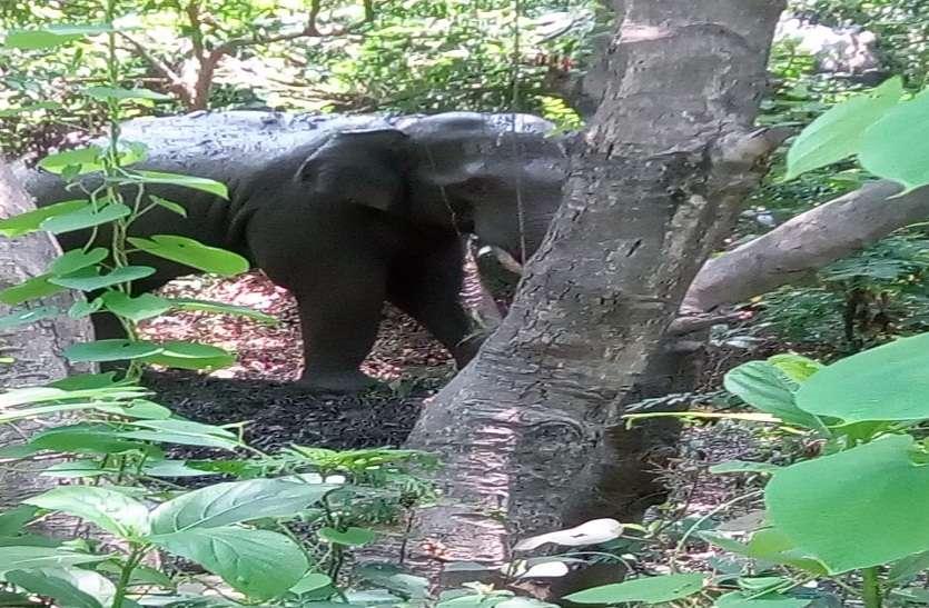 elephant attack: नेपाल से आए जंगली हाथी नहीं आए काबू में, वन विभाग की कोशिश जारी