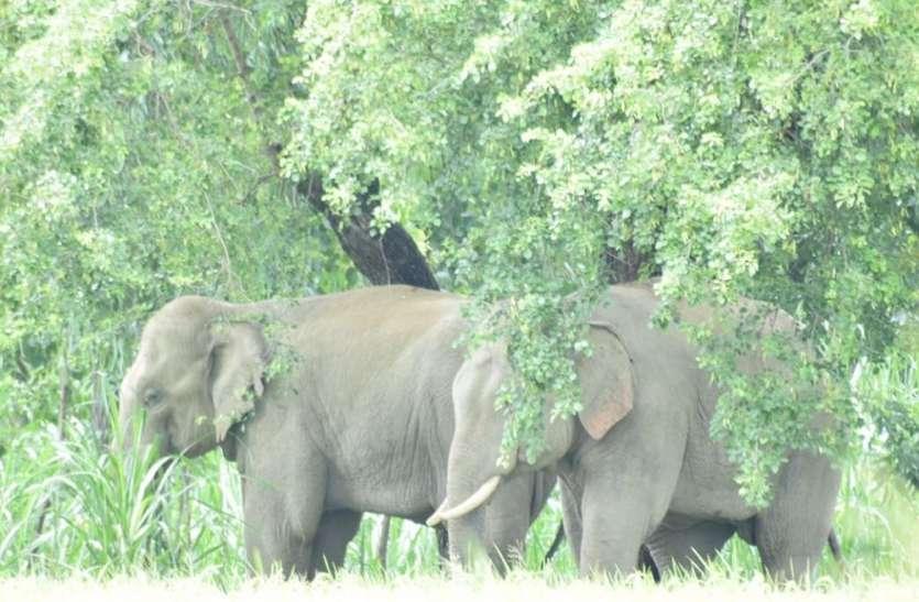 करंट लगने से दो हाथियों की मौत