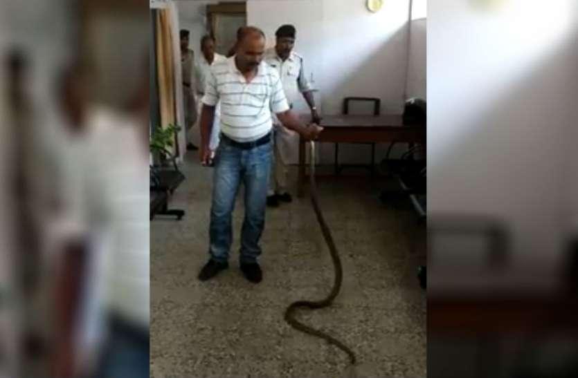 VIDEO: 6 फीट लंबे कोबरा को देख मचा हडकंप, आरक्षक ने अपने हाथों से पकड़ कर दबा दिया सांप का मुंह
