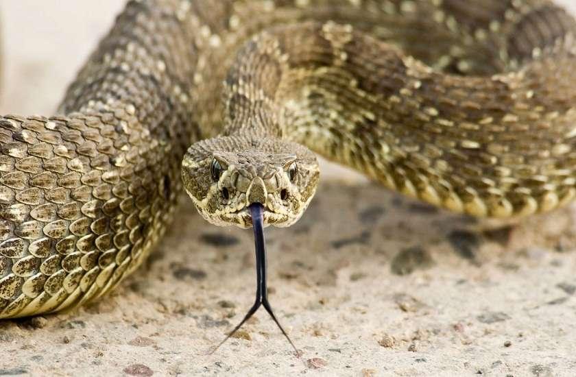 Rattle Viper