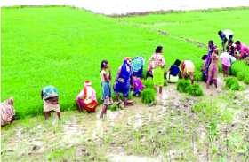 मानसून की देरी से प्रभावित हुई कृषि! धान की रोपाई की रफ्तार पड़ी धीमी