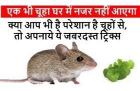 Home remedies : घर में दोबारा नहीं आएंगे चूहे, इस हरी पत्ती को देखते ही भाग जाएंगे