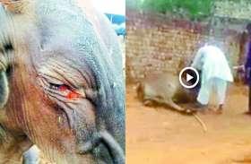 Watch : मानवता की सारी हदें पार, नशे का इंजेक्शन लगाकर गाय की आंखों में डाली मिर्ची, वीडियो वायरल