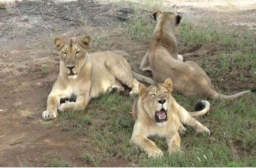 लायन सफारी पार्क कर रहा 7 शेरों के स्वागत का इंतजार, गुजरात सरकार ने दिया बड़ा तोहफा