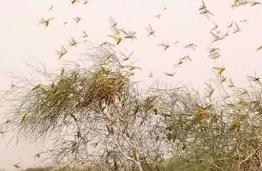 पोकरण क्षेत्र में टिड्डियों का पड़ाव,चट कर रही वनस्पति