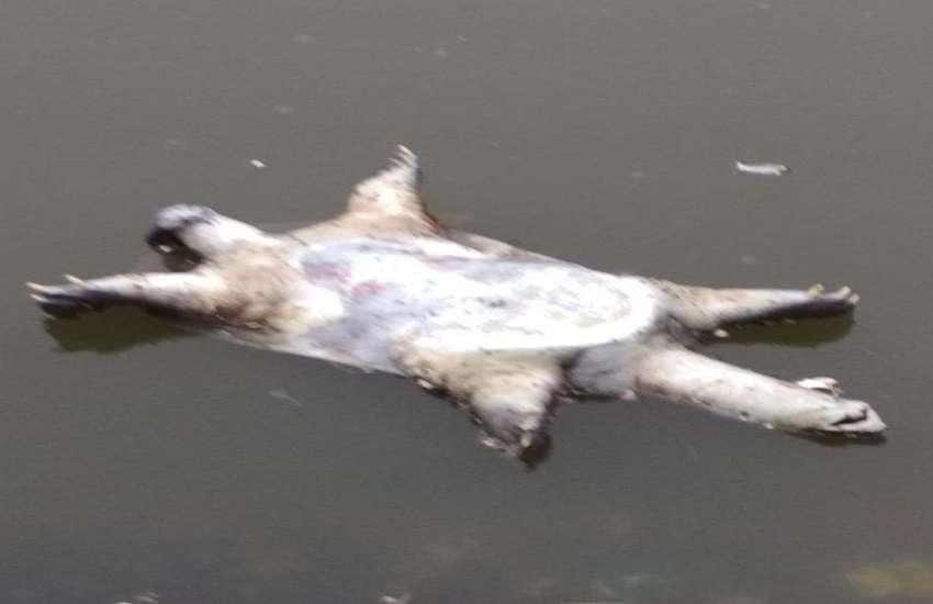 turtles die in holy Kandwa lake