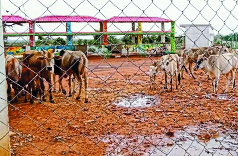 गोशाला में तड़प रही हैं गाय, भूसा चारा की व्यवस्था नहीं