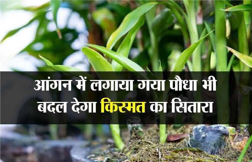 ग्रह दे रहे हैं पीड़ा तो लगाएं एक पौधा, बदल जाएगी तकदीर...यकीं नहीं तो पढ़ें ये खबर