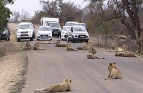 VIDEO: जब शेरों के झुंड ने कर दिया रास्ता जाम, देखें सहमे लोगों ने फिर क्या किया