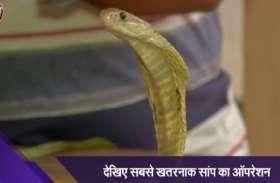 golden cobra snake : डाक्टरों ने ऐसे आपरेशन कर सांप के शरीर से निकाला सरिया