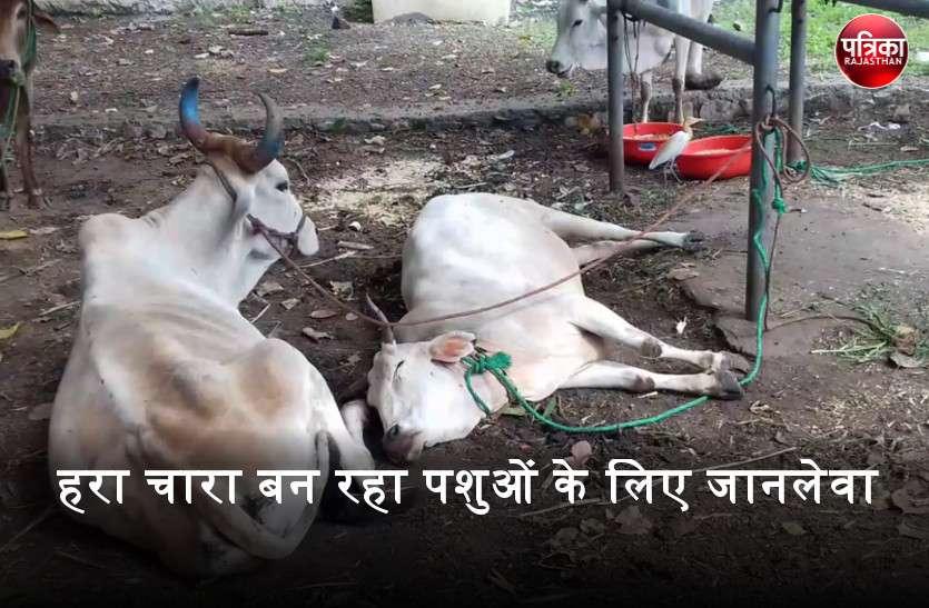 बारिश से अंकुरित हरा चारा पशुओं के जीवन पर भारी, खाने के बाद पशुओं को हो रही गंभीर बीमारी
