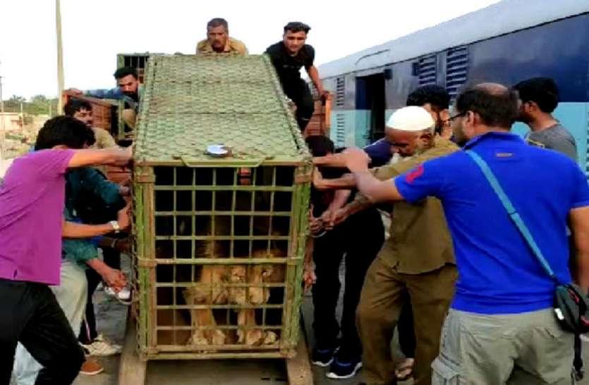 जूनागढ़ : जूनागढ़ से एक शेर व शेरनी को गुवाहाटी भेजा