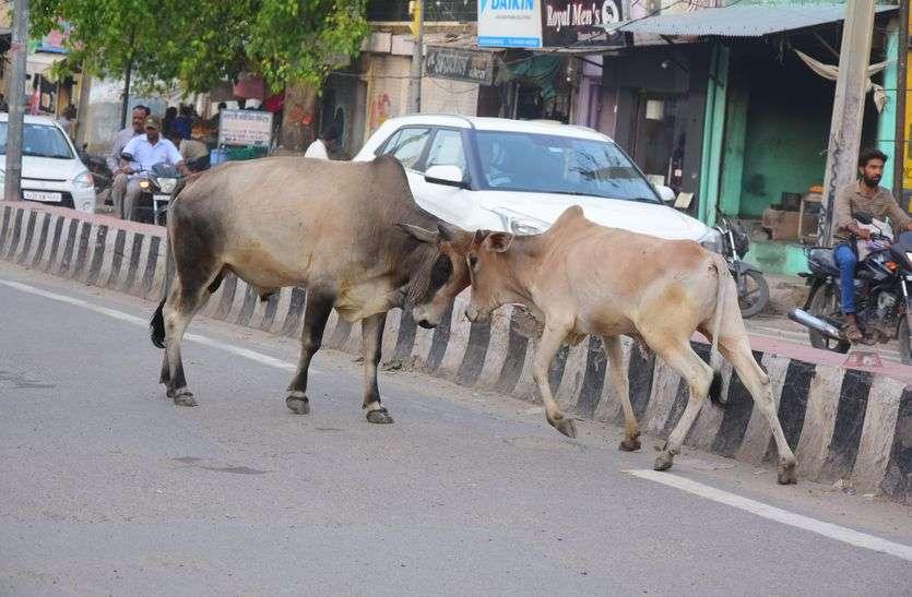 किशनगढ़ की सड़कों पर गौवंश डेरा