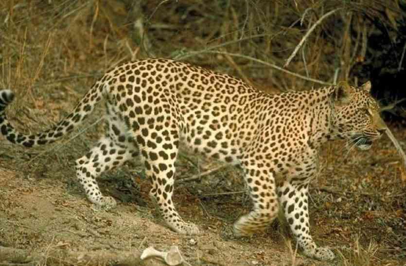 कंवला की पहाड़ी में ये जानवर देख सहमे ग्रामीण