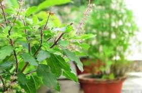 get rid of mosquitoes : घर पर लगा लें ये पौधे तो भाग जाएंगे मच्छर