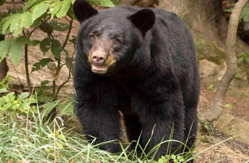 जंगल से निकल घर में घुसा भालू, दहशत में पूरी कॉलोनी