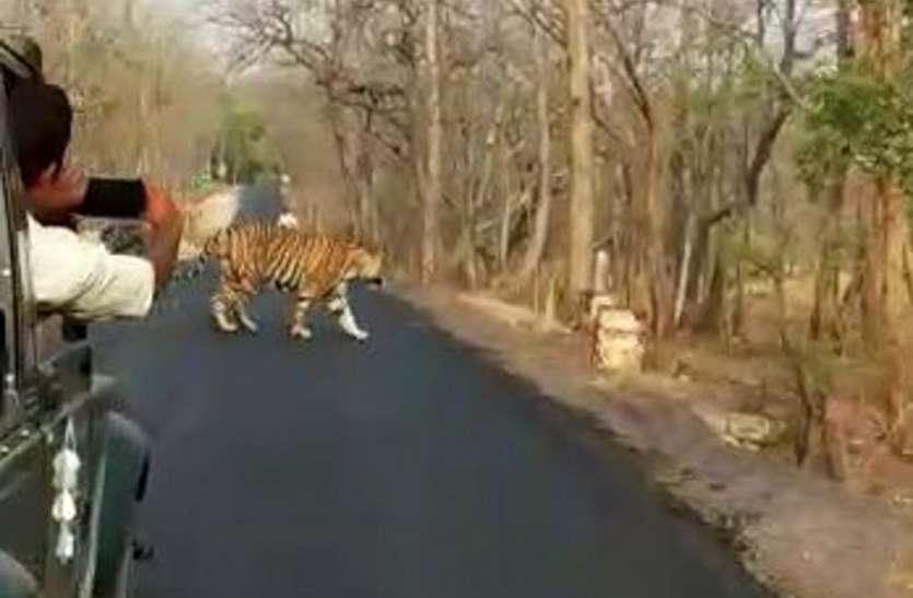 एमपी के इस जिले में सड़क पर आराम फरमाते आसानी से दिख जाएंगे बाघ
