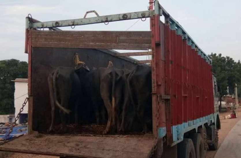 ट्रक से कर रहे थे पशु तस्करी, 16 नगर मवेशी सहित वाहन जब्त