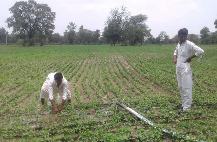Soya bean news : एक सप्ताह से नहीं हुई बारिश, सूखने लगी सोयाबीन की फसल