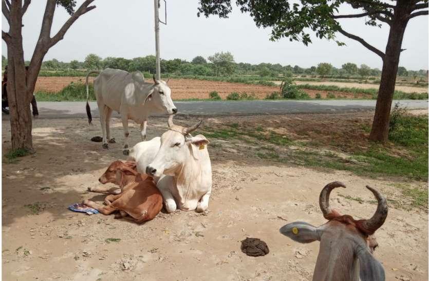 Gaushala in Firozabad: मुर्गियों के लिए गायों को गौशाला से निकाला बाहर, फजीहत हुई तो शुरू हुई गायों की खोज, देखें वीडियो