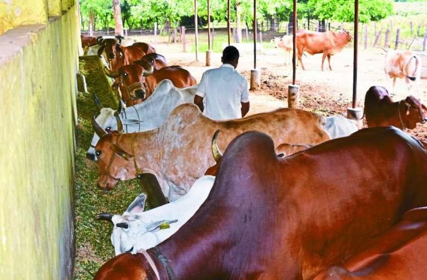 देशी गायों में कर रहे नस्ल सुधार का काम, ताकि लोगों के बीच जिंदा रहे