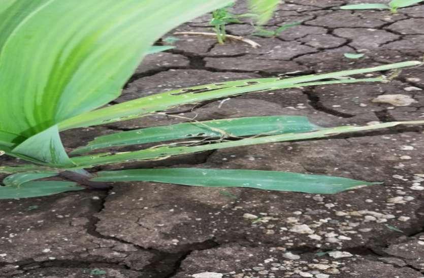 अमेरिका के कीड़े का मध्यप्रदेश के इस जिले में पसरा आतंक