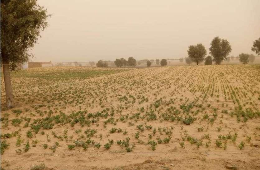 बीकानेर के 155 हैक्टेयर क्षेत्र में टिड्डियों का धावा