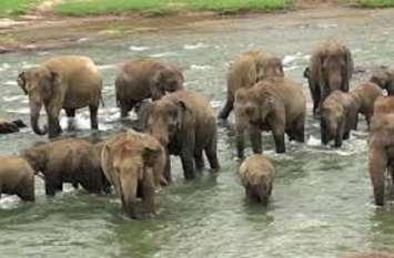 शावक को बचाने उफनती नदी में डटा है हाथियों का दल