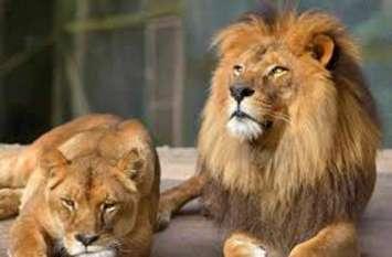शेरनी तारा के साथ बनेगी जोधपुर से आए शेर कैलाश की जोड़ी!
