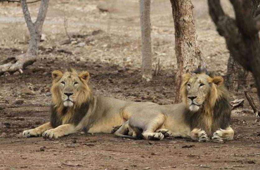 illegal lion show : अवैध रूप से शेर दिखाने के मामले में 74 गिरफ्तार