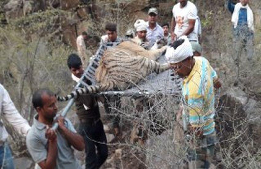 sariska tiger news गैंगरेप हुआ तो पूरी सरकार आई, बाघ मरा तो जांच अधिकारी तक नहीं पहुंचे