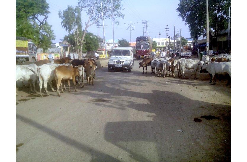 पशुओं ने डाला सड़क पर डेरा