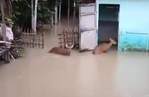 Assam Floods: काजीरंगा नेशनल उद्यान में बढ़ता जा रहा पानी, बहने लगे जानवर, देखें वीडियो