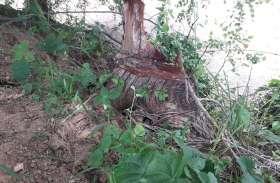हरियाली के जिम्मेदार रखवाले मौन, जंगलों में चल रही बेधडक़ आरी, काट रहे खेर के पेड़
