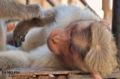 एक बंदर जिसके नाम है करोड़ों की संपत्ति, शादी के बाद महल में रहेगा अपनी दुल्हनियां के साथ