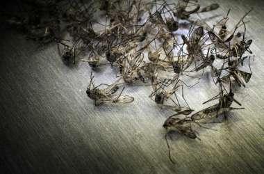 दुनिया की सबसे घातक मच्छरों की प्रजाति को नपुंसक बनाकर चीन ने किया उनका सफाया, जानें कैसे