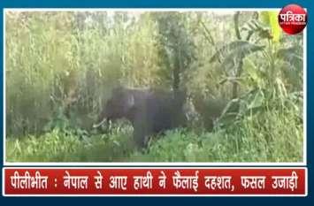 Nepal से आए Elephant ने फैलाई दहशत, फसल उजाड़ी, देखें वीडियो
